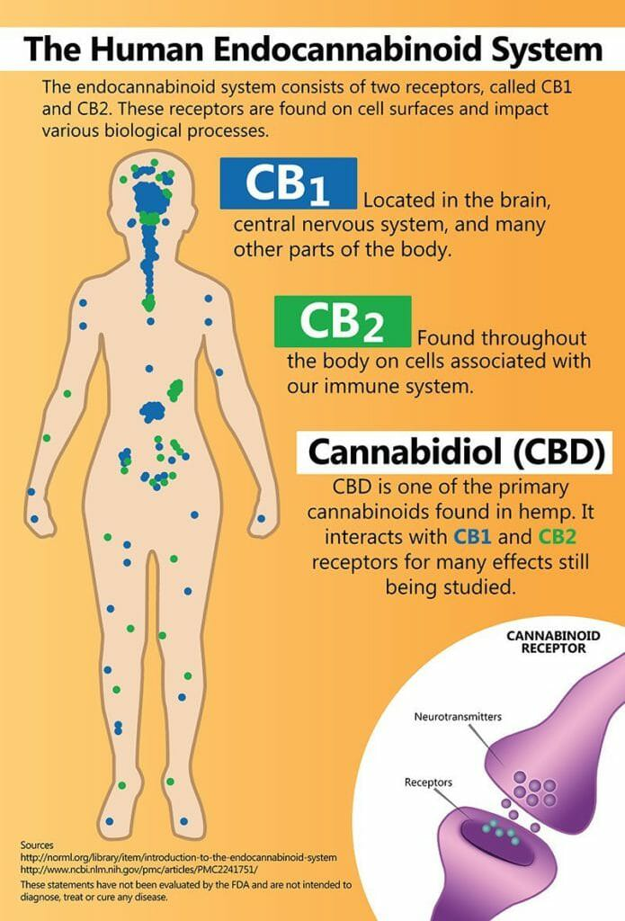 The Human Endocannabinoid System consists of two receptors, CB1 and CB2. Cannabidiol (CBD) interacts with these receptors.